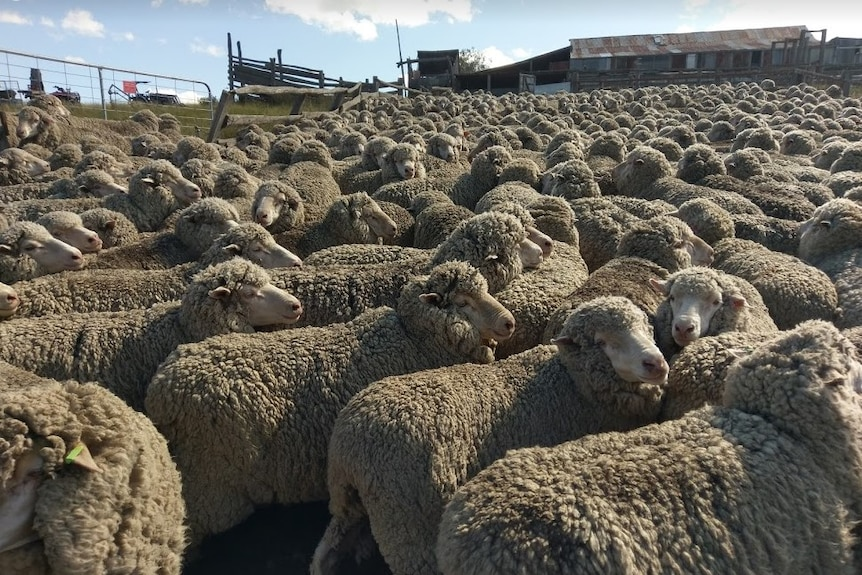 Many farmers have cut the size of their flocks due to severe drought conditions.
