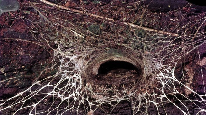 Blue Mountains Funnel-web spider (Hadronyche versuta) burrow showing silk triplines radiating out.