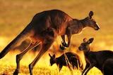 Kangaroos in the sun.