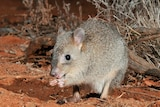 Small brown rat like creature, holding food in its front paws, nibbling at it.