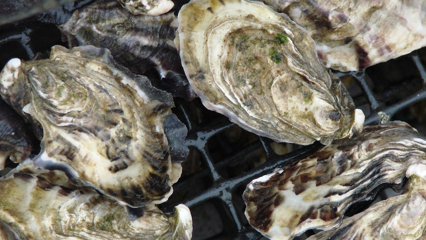 Oysters sit on a grate
