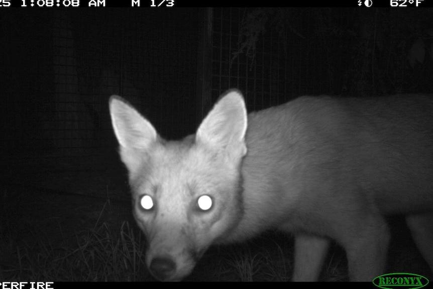 Fox caught on infrared camera at night.