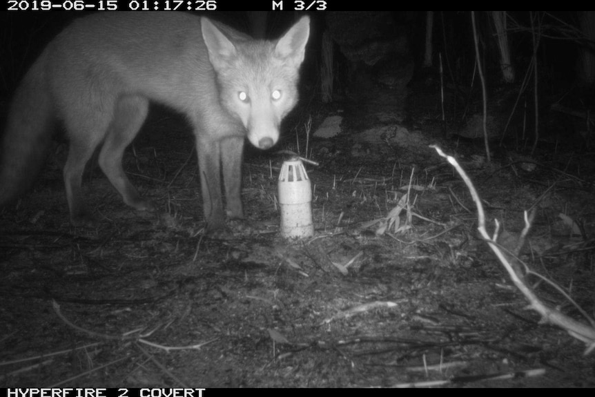 Fox caught on camera near the refuges in the Great Otway National Park.