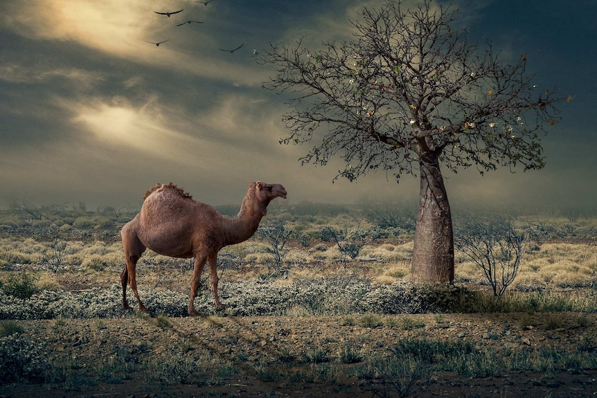 A camel in bushland next to a boab tree, created in photoshop.