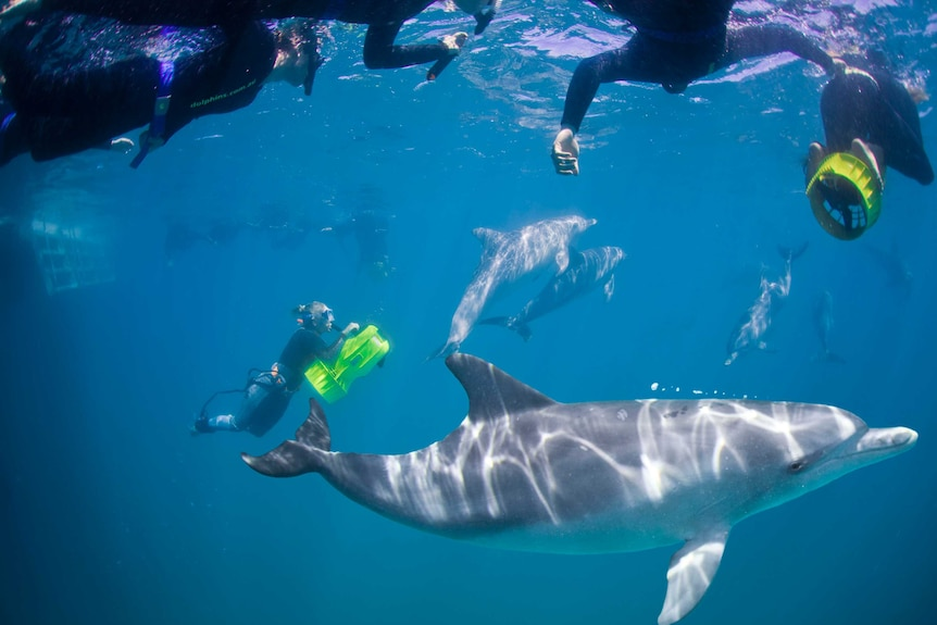 An underwater photo of people snorkelling with a dolphin.