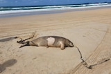 A dead dugong lies on the sand with rusty, heavy chains wrapped around its tail.