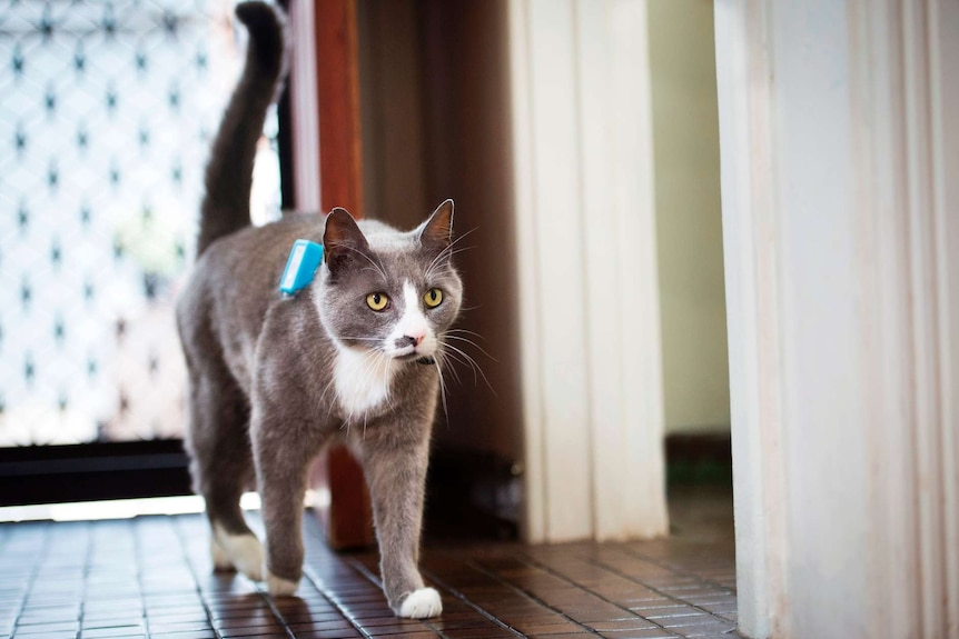 A cat wearing the GPS tracking device.