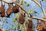 The little red flying foxes had been living in the backyard for seven months.