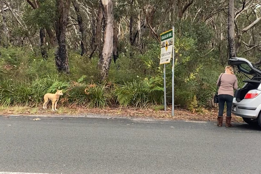 A dingo watches a person who is standing next to their car.