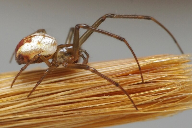 Small spider with round body and thin legs on the end of a paintbrush.