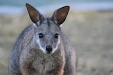 Close up of a tammar wallaby