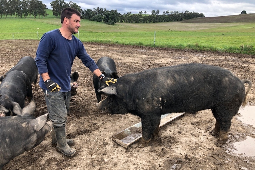 A man in a blue shirt pats a large black pig on the head in a muddy paddock.