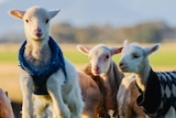 7 lambs in grassy field wearing knitted baby jumpers