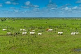 cattle on a green paddock.