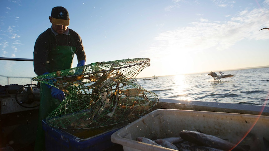 A fisher removes his catch from a crab pot with pelicans flying in the background of his dinghy