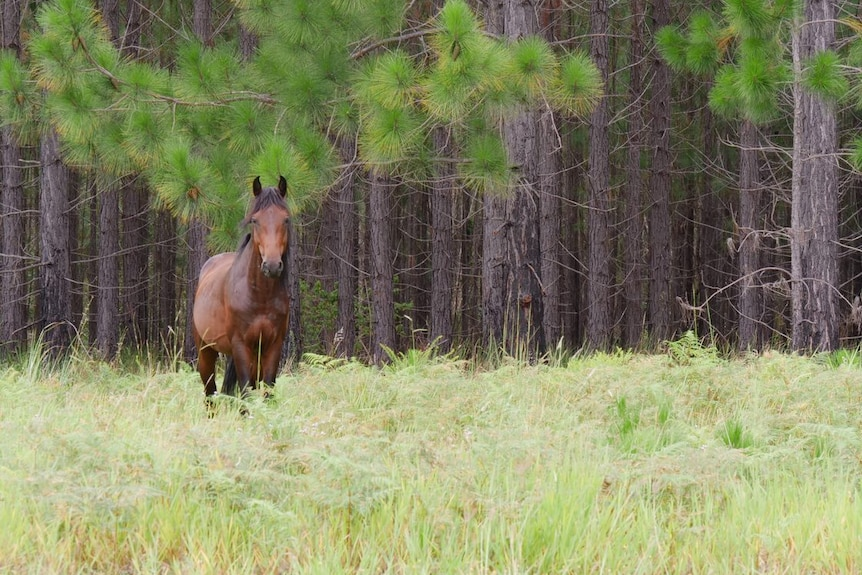 A brown stallion stands, looking at the camera, in long grass in front of a thick pine forest.