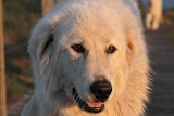 A close-up of a young, white and fluffy maremma dog