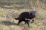 A Tasmanian devil savours its first taste of freedom