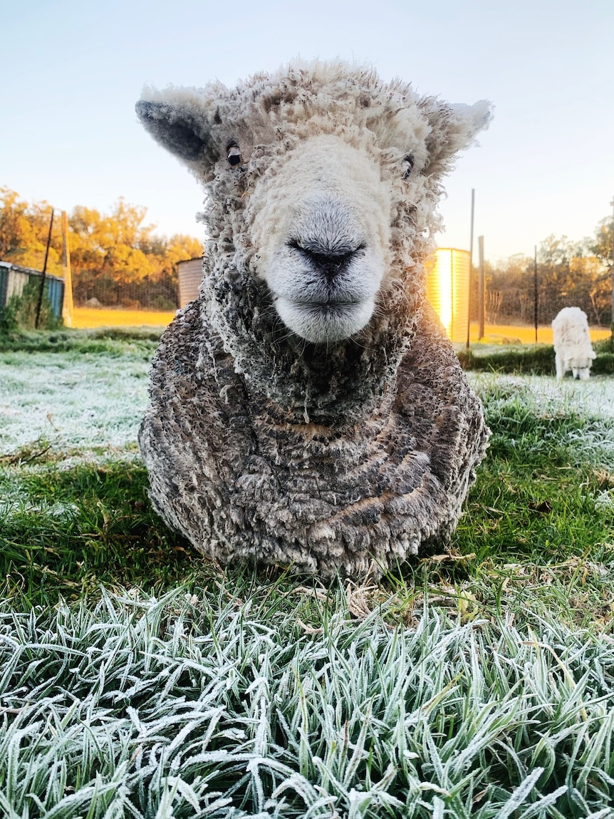 A ram sits in frosty grass.