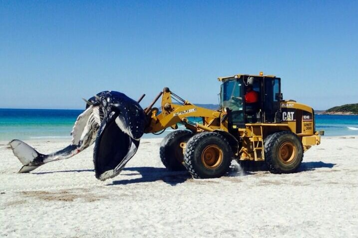 A whale carcass is removed from Middleton Beach