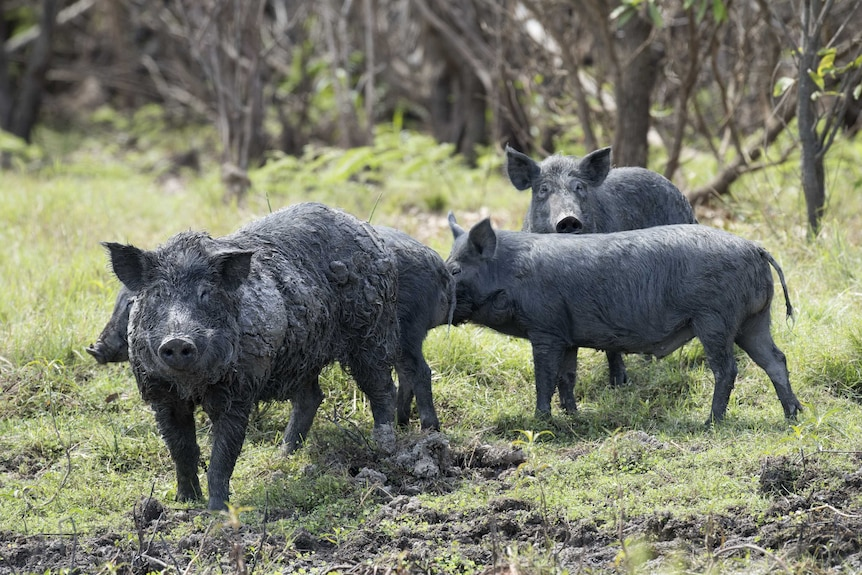 Thousands of pigs have been eradicated in the NSW western Riverina in the last 6 weeks.