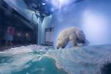 Pizza the polar bear