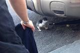 Penguin chick under car