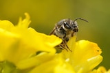 Close up of the head and part of the body of a native bee on a yellow brassica flower.