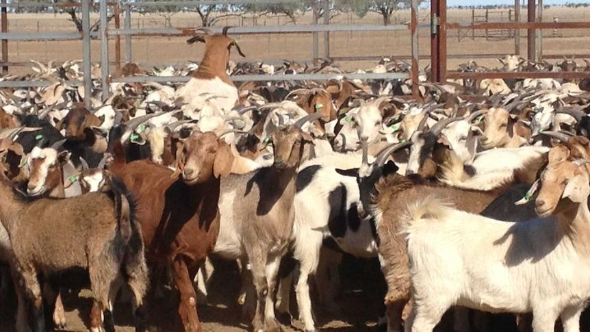 a mass of goats in a pen