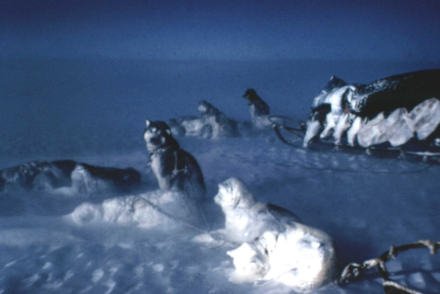 Sledging dogs rest in very trying conditions in Antarctica, date unknown.