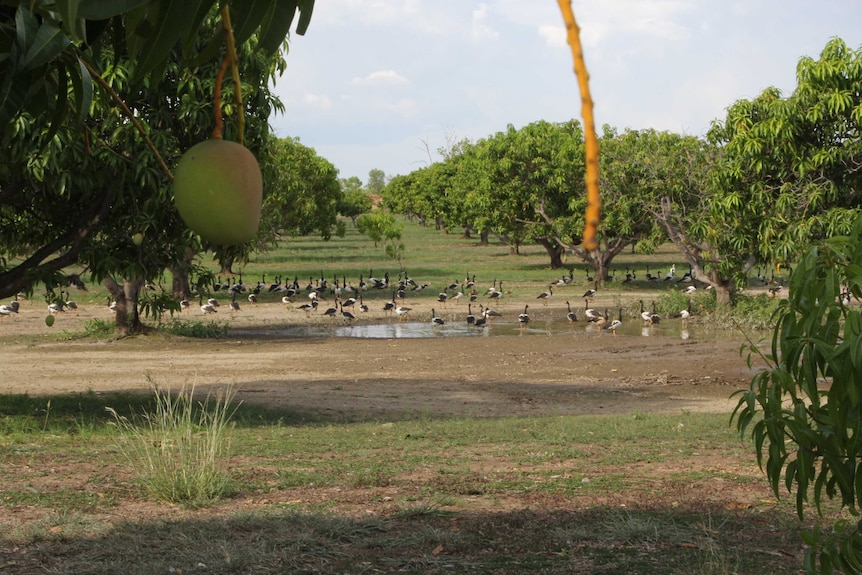 Dozens of magpie geese in a puddle on a mango farm