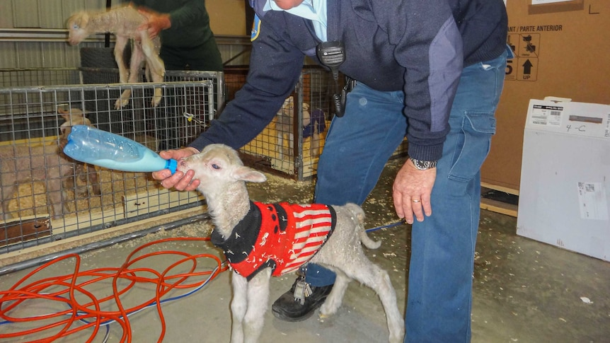 A prison staff member and an inmate feeding lambs.
