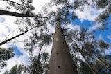 Tasmanian hardwood plantation forest