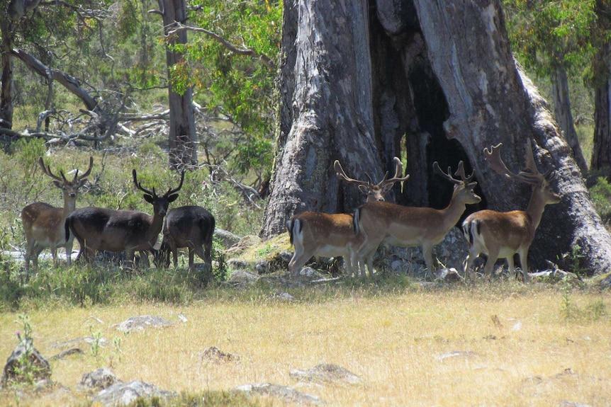 Fallow deer grazing in Tasmania Guy Ellis photo.
