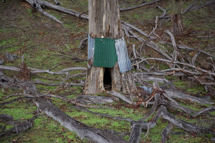 A tree with corrugated iron attached around the base of the trunk
