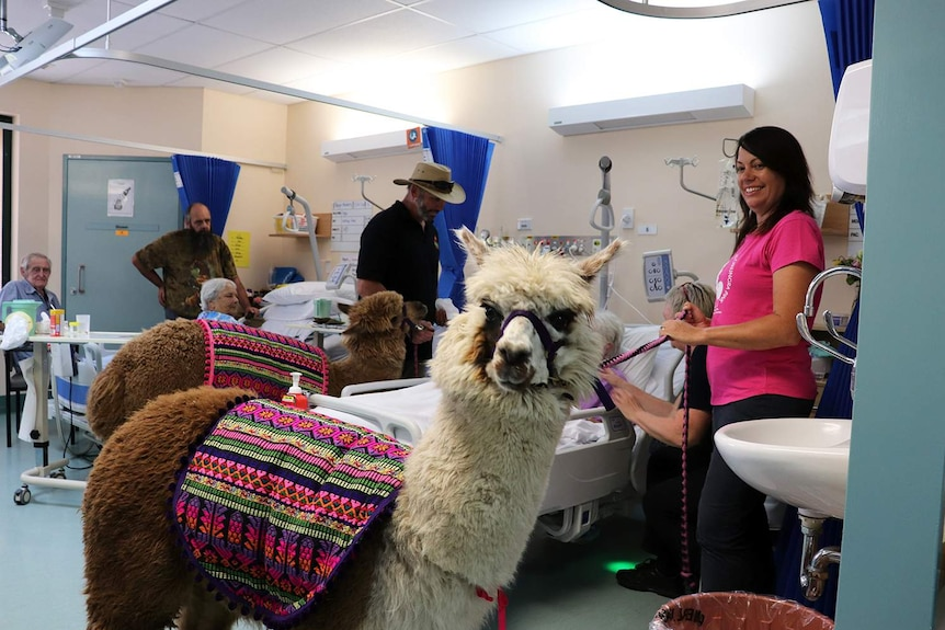 Therapy alpacas Pancake (looking at camera) and Ed Sheeran with their handlers visiting patients in wards at Beaudesert hospital
