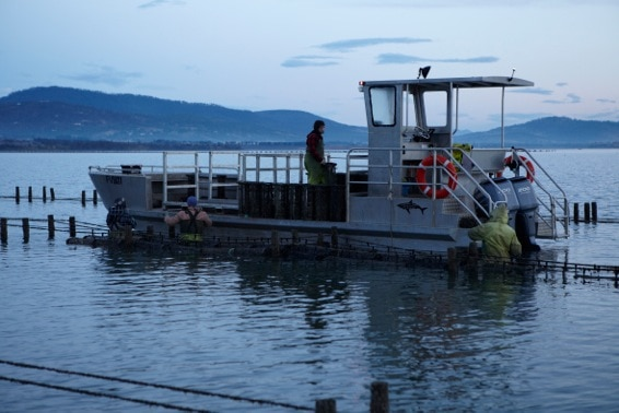 Pacific Oyster farmers drive a barge to tend to their stock in Tasmania.