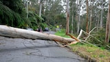 A large fallen tree and damaged powerline in a local street.