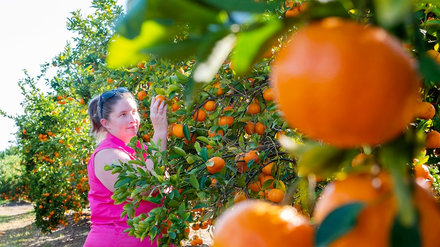 Nearly 100 years ago, an orange tree was planted that would grow into a story of love