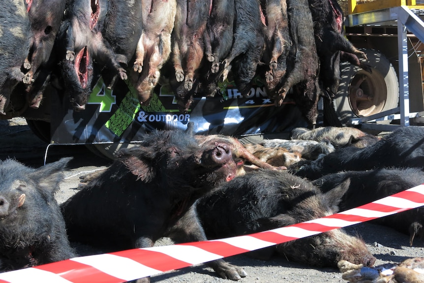 a number of boar carcasses laid out