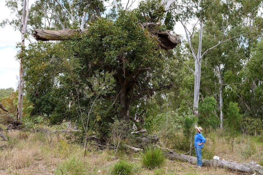 A woman stands looking up at a tree, which has a dead log stuck, around ten metres above the ground.