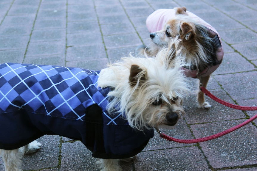 Two dogs in jackets on a joint lead.
