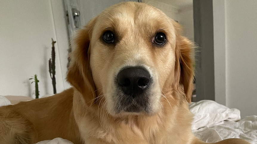golden retriever looking mournful on bed