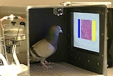 Pigeon in box looking at touch screen