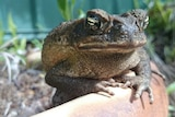 A cane toad sits in a garden in Darwin