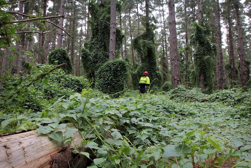 A man in yellow high visibility vest in the middle of a massive growth of a climbing vine.