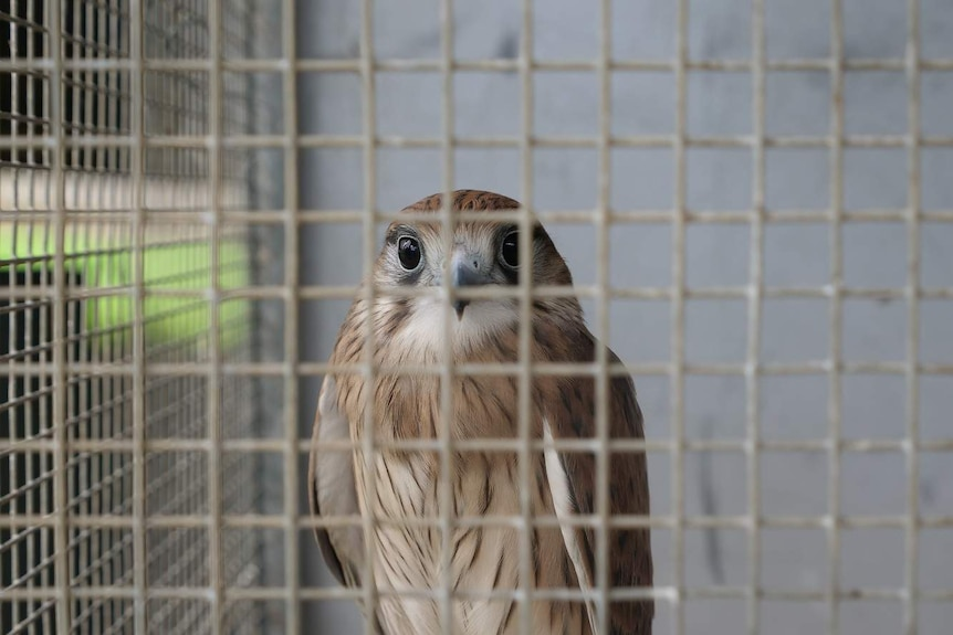 A brown and white bird with large black eyes looks through a wire cage.