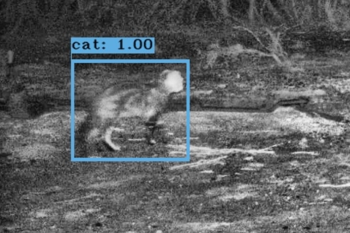 A picture taken at night of a feral cat sneaking up on a marsupial.