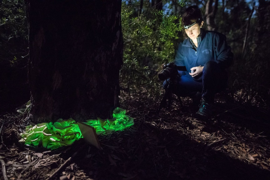 Karyn Thomas photographs ghost mushrooms in a forest.