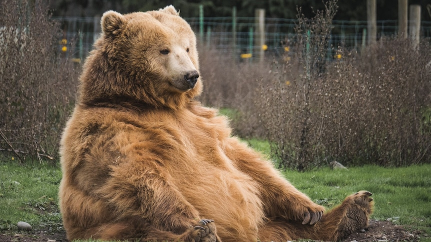 A large brown bear sits peacefully in a field